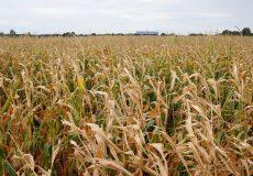 Maisfeld im Herbst / Ernte