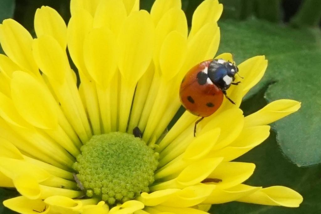 Marienkäfer Blüte