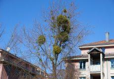 Mistelsträucher / Mistelstrauch im Baum