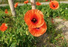 Mohnblume Blüte auf Wiese