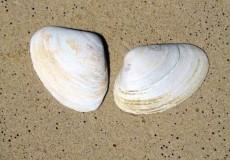Muscheln Strand 1
