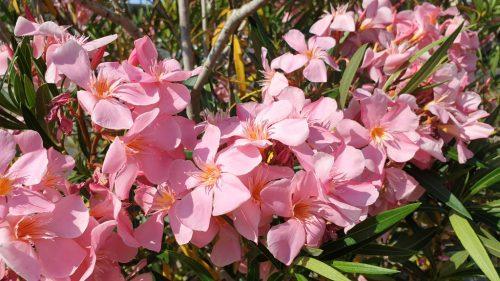 Oleander rosa
