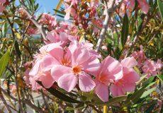 Oleander rosa Blüte