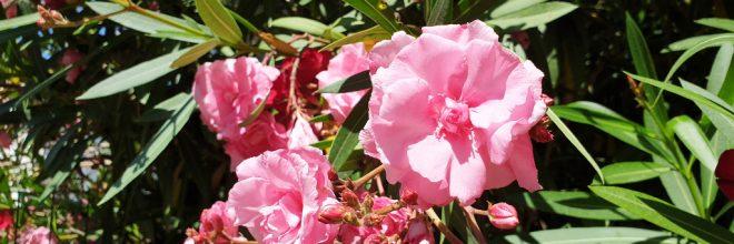 Oleander Rosenlorbeer