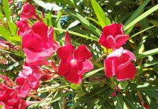 Oleander rot