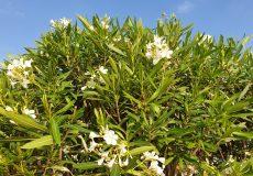 Oleander Strauch weiß