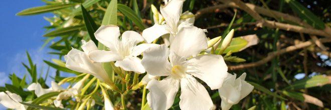 Oleander weiß Blüte
