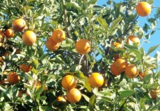 Orangen Orangenbaum