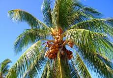 Palme Kuba