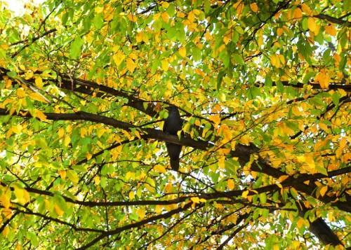 Rabe am Baum
