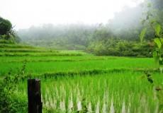 Reisfelder Thailand 1