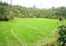Reisfelder Thailand