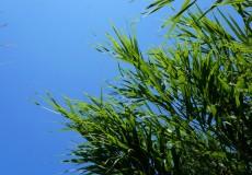 Schilf und blauer Himmel