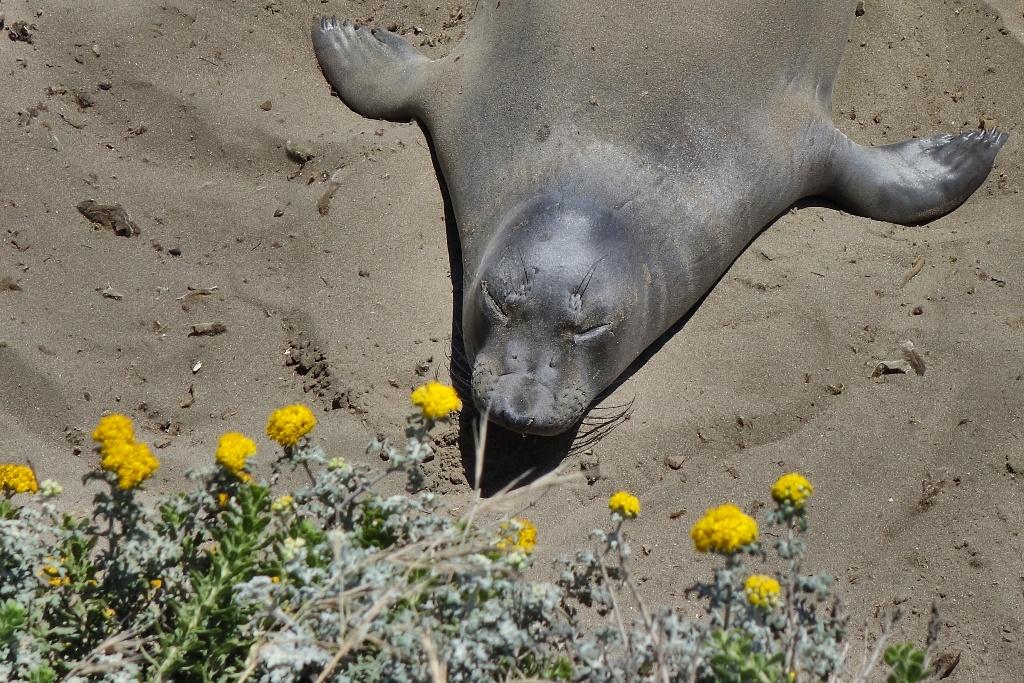 Seehund entspannt mit Blumen