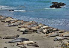 Seelöwen am Strand