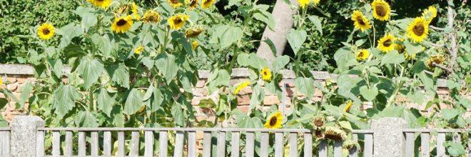 Sonnenblumen Gartenzaun