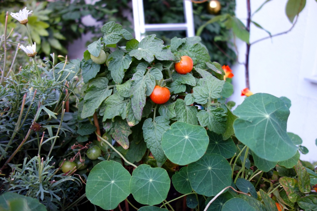 strauch-mit-tomaten