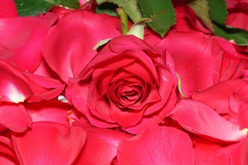 Valentinstag / Rote Rose auf Rosenblüten