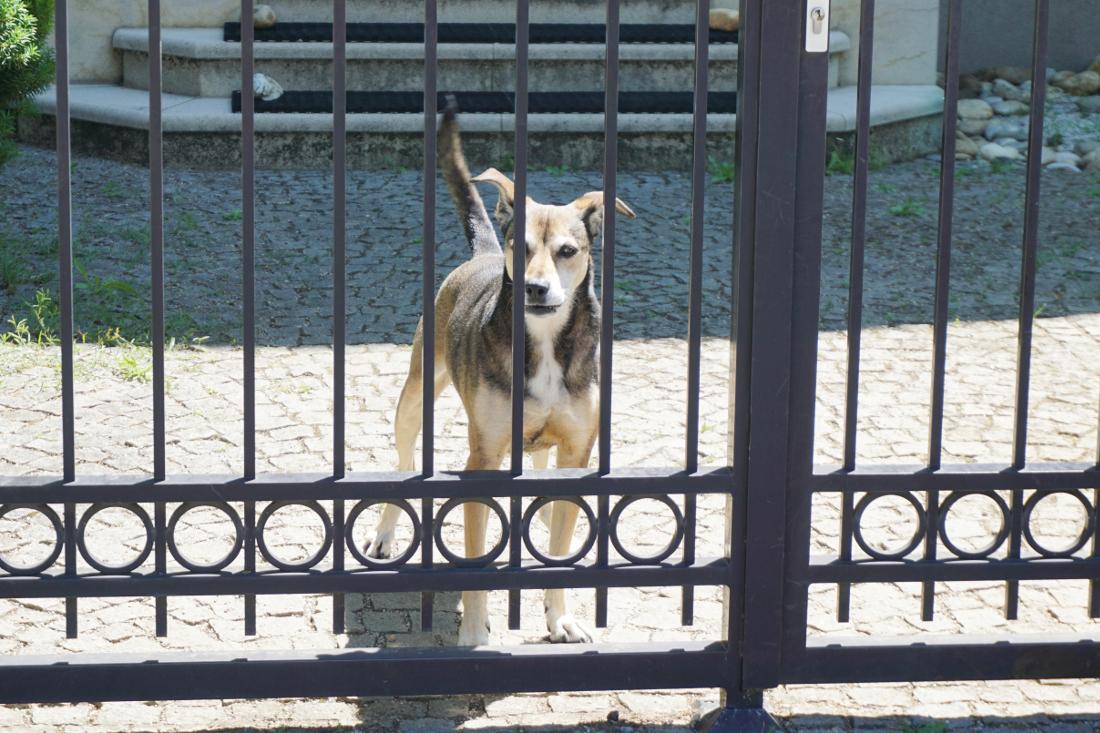 Wachhund hinter Zaun