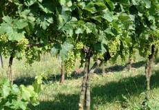 Weinanbau Rebe 1