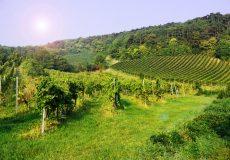 Weinhänge – Herbstzeit ist Weinzeit