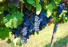 Blaue Trauben Weinreben