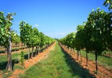 Weinreben – Grüne / Weiße Trauben