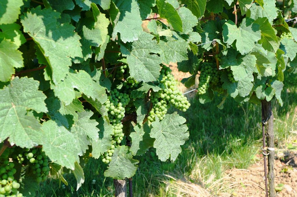 Weinreben – weiße Trauben 1