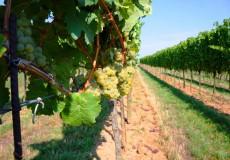 Weiße Trauben Weinstöcke