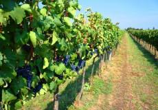 Blaue Trauben Weinstöcke