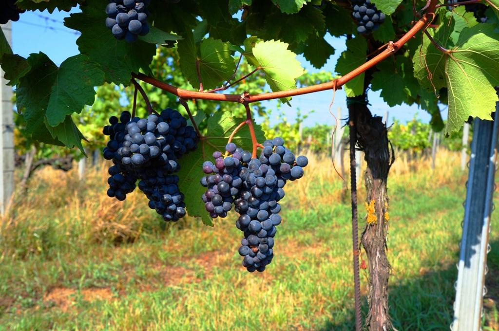 Weinstock Weinreben blaue Trauben