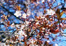 Weisse Kirschblühten im Frühling